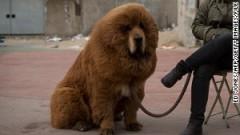 tibetan-mastiff-story-body