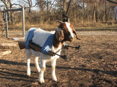 Open Carry Billy Goat