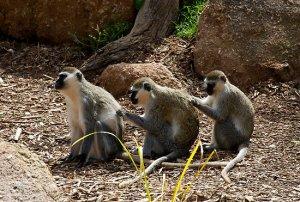 Back Scratching Monkeys