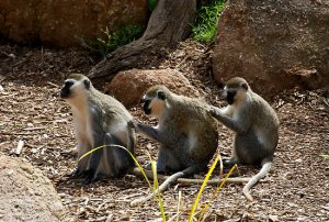 Back Scratching Monkeys
