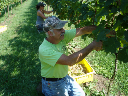people picking grapes