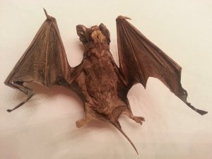 mummified_bat
