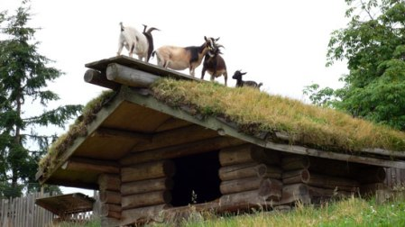 goat-on-roof-1
