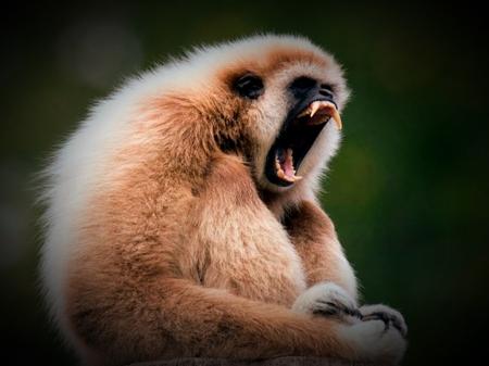 screaming gibbon