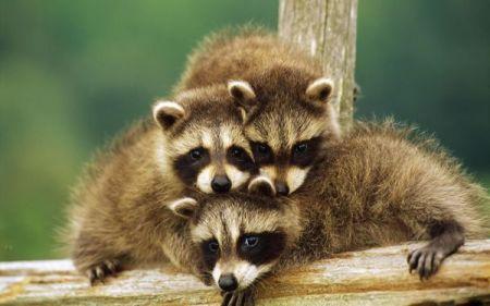 raccoon-06